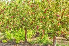 Δέντρα της Apple με τα ώριμα φρούτα στον οπωρώνα Στοκ Εικόνες