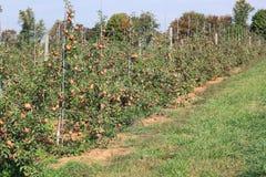 Δέντρα της Apple με τους πασσάλους Στοκ Φωτογραφία