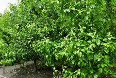 Δέντρα της Apple σε έναν κήπο μήλων Στοκ Εικόνα