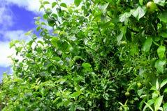 Δέντρα της Apple σε έναν κήπο μήλων Στοκ Φωτογραφία