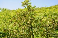 Δέντρα της Apple σε έναν οπωρώνα, με τα κόκκινα και πράσινα μήλα Στοκ Φωτογραφία