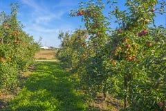 Δέντρα της Apple σε έναν οπωρώνα στον ήλιο Στοκ εικόνες με δικαίωμα ελεύθερης χρήσης