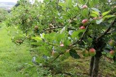 Δέντρα της Apple σε έναν οπωρώνα Στοκ Εικόνες