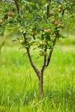 Δέντρα της Apple σε έναν οπωρώνα Στοκ εικόνα με δικαίωμα ελεύθερης χρήσης