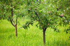 Δέντρα της Apple σε έναν οπωρώνα Στοκ φωτογραφίες με δικαίωμα ελεύθερης χρήσης