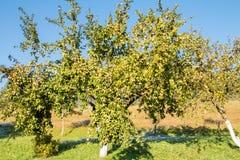 Δέντρα της Apple σε έναν οπωρώνα Στοκ εικόνες με δικαίωμα ελεύθερης χρήσης