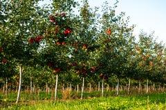 Δέντρα της Apple σε μια σειρά στοκ φωτογραφίες