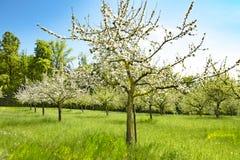 Δέντρα της Apple στα άνθη, χρόνος άνοιξη στον οπωρώνα με τα δέντρα μηλιάς Στοκ Φωτογραφία