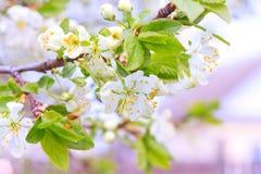 Δέντρα της Apple στα μαλακά λουλούδια Στοκ Εικόνες