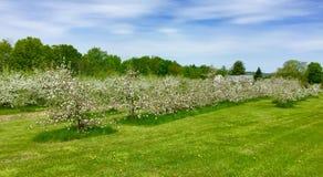 Δέντρα της Apple στην άνθιση την άνοιξη στο Μαίην Στοκ εικόνα με δικαίωμα ελεύθερης χρήσης