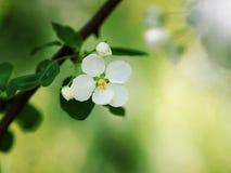 Δέντρα της Apple στην άνθιση Στοκ Φωτογραφία