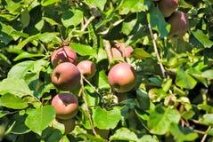 Δέντρα της Apple στην κινηματογράφηση σε πρώτο πλάνο κήπων Στοκ Εικόνα