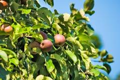 Δέντρα της Apple στην κινηματογράφηση σε πρώτο πλάνο κήπων Στοκ εικόνα με δικαίωμα ελεύθερης χρήσης