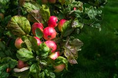 Δέντρα της Apple στον κήπο κατά τη διάρκεια του φθινοπώρου, UK Στοκ Εικόνες