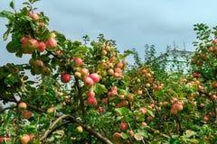 Δέντρα της Apple στον κήπο κατά τη διάρκεια του φθινοπώρου, UK Στοκ Φωτογραφία