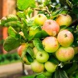 Δέντρα της Apple στον κήπο κατά τη διάρκεια του φθινοπώρου, UK Στοκ φωτογραφία με δικαίωμα ελεύθερης χρήσης