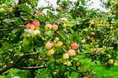 Δέντρα της Apple στον κήπο κατά τη διάρκεια του φθινοπώρου, UK Στοκ εικόνα με δικαίωμα ελεύθερης χρήσης