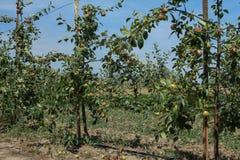 Δέντρα της Apple στον κήπο Στοκ Εικόνες