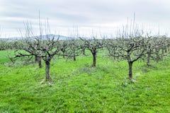 Δέντρα της Apple στο άνθος άνοιξης Στοκ Φωτογραφίες
