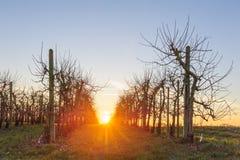 Δέντρα της Apple στο ηλιοβασίλεμα Στοκ Εικόνα