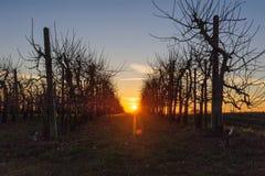 Δέντρα της Apple στο ηλιοβασίλεμα Στοκ Εικόνες