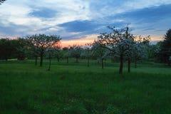 Δέντρα της Apple στο ηλιοβασίλεμα Στοκ Φωτογραφίες