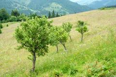 Δέντρα της Apple στο λιβάδι στα Καρπάθια βουνά Destinati της Ουκρανίας Στοκ εικόνα με δικαίωμα ελεύθερης χρήσης