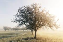 Δέντρα της Apple στο φως ήλιων πρωινού Στοκ φωτογραφίες με δικαίωμα ελεύθερης χρήσης