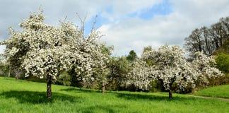Δέντρα της Apple την άνοιξη Στοκ φωτογραφία με δικαίωμα ελεύθερης χρήσης