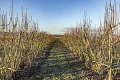 Δέντρα της Apple το χειμώνα στον τομέα Στοκ Φωτογραφίες