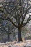Δέντρα της Apple το χειμώνα στο φως βραδιού Στοκ Φωτογραφίες
