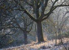 Δέντρα της Apple το χειμώνα στο φως βραδιού Στοκ Εικόνα