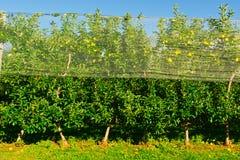 Δέντρα της Apple Στοκ φωτογραφία με δικαίωμα ελεύθερης χρήσης