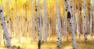 Δέντρα της Aspen στο φως φθινοπώρου κοντά Flagstaff, Αριζόνα Στοκ φωτογραφία με δικαίωμα ελεύθερης χρήσης