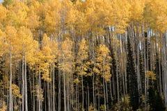 Δέντρα της Aspen το φθινόπωρο με τα κίτρινα φύλλα Στοκ εικόνα με δικαίωμα ελεύθερης χρήσης