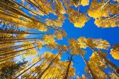 Δέντρα της Aspen Στοκ Φωτογραφίες
