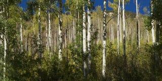 Δέντρα της Aspen στοκ φωτογραφία με δικαίωμα ελεύθερης χρήσης