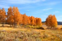 Δέντρα της Aspen στοκ φωτογραφία