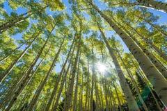 Δέντρα της Aspen Στοκ εικόνα με δικαίωμα ελεύθερης χρήσης