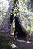 Δέντρα της Karri, δυτική Αυστραλία Στοκ Εικόνες