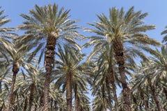 Δέντρα της Pam στην κοιλάδα της Ιορδανίας Στοκ Εικόνες
