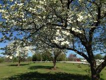 Δέντρα του Μισσούρι Dogwood σε μια σειρά ανθών Στοκ φωτογραφία με δικαίωμα ελεύθερης χρήσης