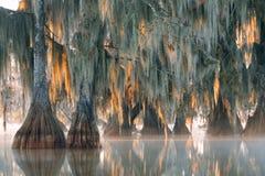 Δέντρα του φαλακρού κυπαρισσιού με την ένωση του ισπανικού βρύου στην πρώτη ακτίνα Στοκ Εικόνες