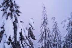 Δέντρα του FIR στο χιόνι και ομίχλη στο χειμερινό δάσος στοκ φωτογραφία με δικαίωμα ελεύθερης χρήσης