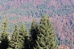 Δέντρα του FIR Στοκ Εικόνα