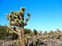 Δέντρα του Joshua στο τοπίο ερήμων με τους μπλε ουρανούς Στοκ Εικόνες