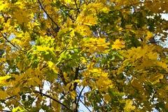 Δέντρα το φθινόπωρο 4 Στοκ Εικόνα