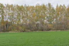 Δέντρα φθινοπώρου, δέντρα σημύδων με το ζωηρόχρωμο φύλλωμα φθινοπώρου που αυξάνεται το ο στοκ εικόνες
