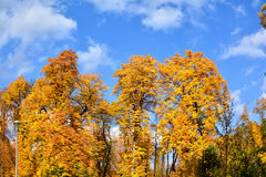 Δέντρα φθινοπώρου κίτρινος και καφετής Στοκ Φωτογραφία