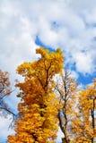 Δέντρα φθινοπώρου κίτρινος και καφετής Στοκ Εικόνα